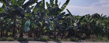 Banana-planting