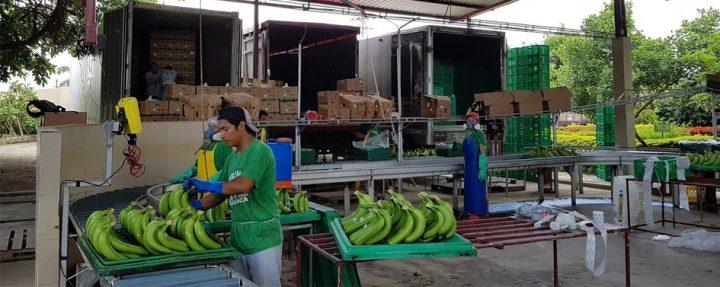 Ecuador-banana-export